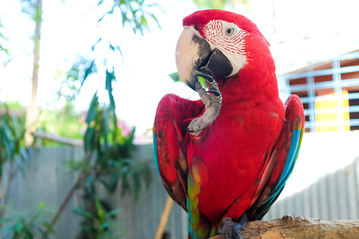 Happy Red Macaw Parrots Guest here at Furs and Feathers Resort, West Palm Beach Florida