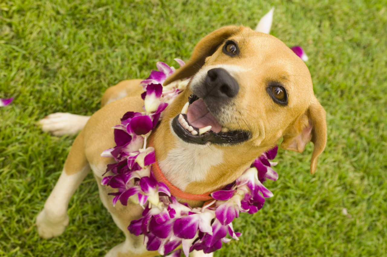 Happy Dog Wearing Lei, Furs and Feathers Resort, West Palm Beach Florida